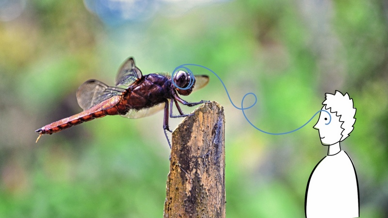 dragonfly-800px